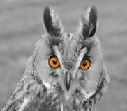 Coloured Przyglądająca się sowa Zdjęcie Royalty Free