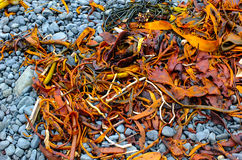 Coloured seaweed on stones Stock Image