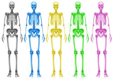 Coloured skeletons Stock Photos