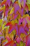 Coloured vine leaves. Wall of colour vine leaves in november Stock Image
