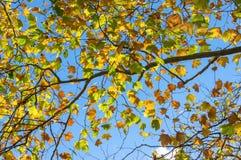 Colourful żółci jesień liście przeciw niebu na tle Fa Zdjęcie Royalty Free