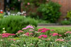 Colourful achillea flowers in the historic walled garden at Eastcote House Gardens, in the Borough of Hillingdon, London, UK.