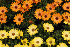 Colourful African Daisies Stock Photos