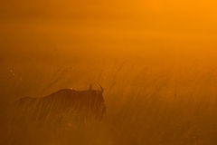 Colourful African Sunrise wildebeest South Africa Stock Image
