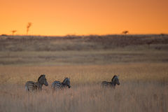 Colourful African Sunrise Zebra South Africa Stock Image