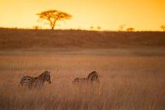 Colourful Afrykańska wschód słońca zebra Południowa Afryka fotografia stock