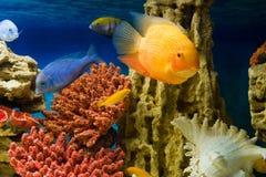 Colourful aquarium fish (Красочные аквариумны. Photo of exotic fish in home aquarium Stock Image