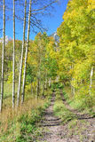 Colourful aspen forest during foliage Royalty Free Stock Photos