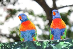 Colourful Australian Rainbow Lorikeet birds Trichoglossus haematodus. Two colourful Australian Rainbow Lorikeet birds Trichoglossus haematodus Stock Photo
