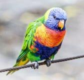 Colourful Australijski tęczy lorikeet Zdjęcie Stock