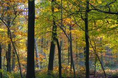 Colourful autumn forest. Colorful autumn forest in belgium Stock Photography