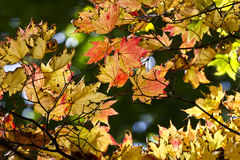 Colourful autumn leaves Stock Photography