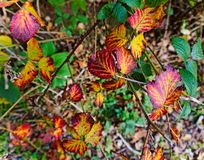 Colourful autumn leaves,. Blackberry leaves showing red yellow purple and green in this autumn image Royalty Free Stock Photography