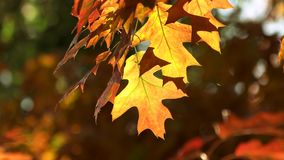 Colourful autumn leaves, close up. stock video