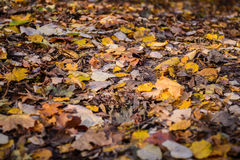 Colourful  autumn leaves Royalty Free Stock Image