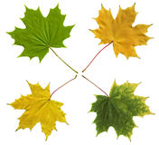 Colourful autumn leaves isolated on white. Stock Photography