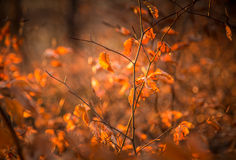 Colourful autumn leaves. Red foliage of the european beech in late autumn (november Royalty Free Stock Photo