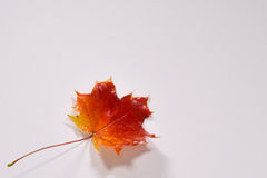Colourful autumn maple leaf Stock Photography
