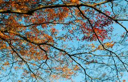 Colourful Autumn tree against blue sky, Narita, Japan. Colourful Autumn tree foliage against blue sky, nature shot of Narita, Japan, horizontal shot Stock Photo