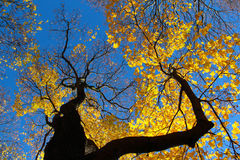 Colourful autumn tree against blue sky Royalty Free Stock Image