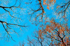 Colourful Autumn tree against blue sky, Narita, Japan. Colourful Autumn tree foliage against blue sky, nature shot of Narita, Japan, Vertical shot Royalty Free Stock Photography