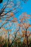 Colourful Autumn tree against blue sky, Narita, Japan. Colourful Autumn tree foliage against blue sky, nature shot of Narita, Japan, Vertical shot Royalty Free Stock Image