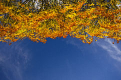Colourful autumn tree-top against a blue sky. Detail of a colourful and vivid autumn tree-top against a blue sky backround Royalty Free Stock Image