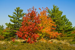 Colourful Autumn Trees. Two bright red and gold maples among pine trees Stock Photos