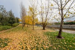 Colourful autumn trees with yellow leafs in the Madrid Río, the park of the Manzanares River in Madrid, Spain. Colourful autumn trees with yellow leafs in the royalty free stock photos