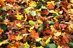 Colourful autumnal leaves Royalty Free Stock Photos