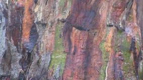 Colourful barkentyna tęczy Eukaliptusowy drzewo zbiory