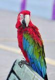 A colourful, beautiful, vivid parrot in the Stock Photo