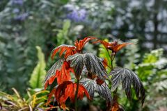 Colourful begonia leaves royalty free stock image
