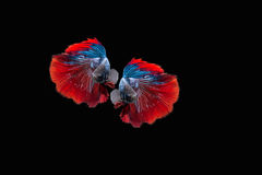 Colourful Betta fish, siamese fighting fish isolated on black background. Red and Blue Half moon betta fish Royalty Free Stock Photo