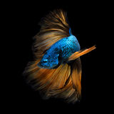 Colourful Betta fish,Siamese fighting fish in movement isolated Royalty Free Stock Image