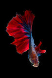 Colourful Betta fish,Siamese fighting fish Royalty Free Stock Photo