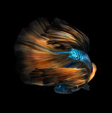 Colourful Betta fish,Siamese fighting fish Royalty Free Stock Photography