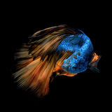 Colourful Betta fish,Siamese fighting fish Royalty Free Stock Image
