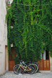 Colourful bicycles under a green ivy Royalty Free Stock Images