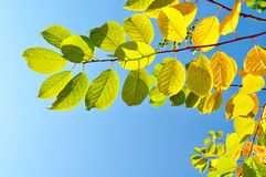 Colourful bird cherry tree branches  against bright blue sky - natural autumn background Royalty Free Stock Images