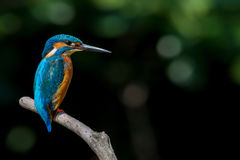 Colourful bird perching on branch. Royalty Free Stock Photography