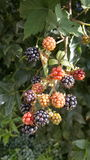 Colourful blackberry royalty free stock photo