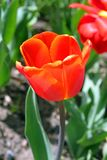 Blooming red tulip in spring stock images