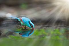 Colourful Blue Bird Drinking Water. Royalty Free Stock Image