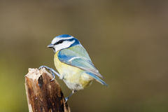 Colourful Blue Tit Royalty Free Stock Image