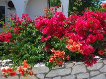 Colourful Bougainvillea Flowers, Greek Island Stock Images