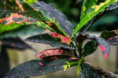 Colourful bright leaves and flowers croton stock images