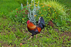 Colourful bright rooster near a bed with flowers Royalty Free Stock Image