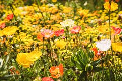 Alpine poppy meadow stock images