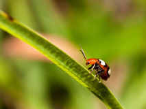 Colourful bug on a long green grass. Stem royalty free stock images
